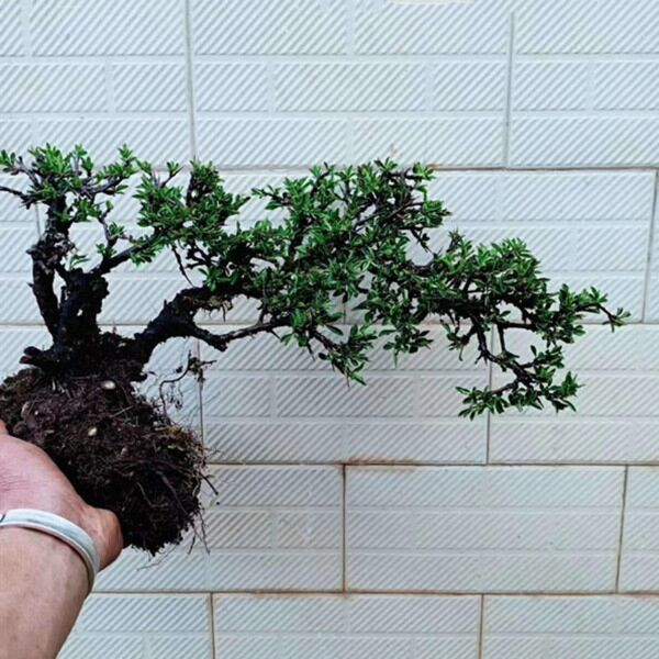 Rhamnus Bonsai ( Rhamnus aurea )