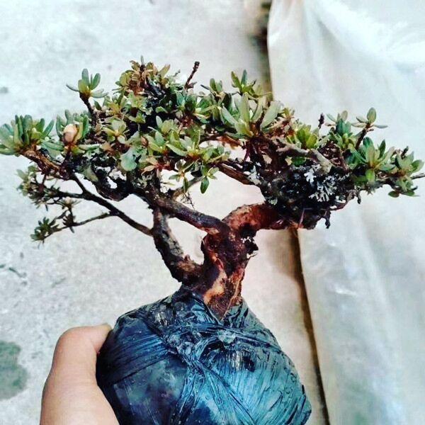 Rhododendron Bonsai ( Rhododendron capitatum )