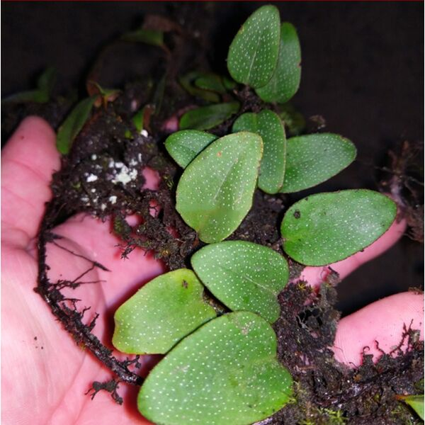Round Leaf (Pyrrosia sp.)