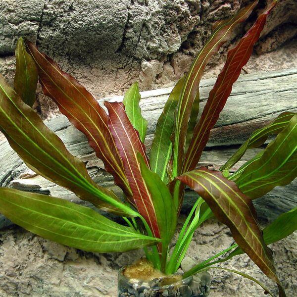 Red Rubin(Echinodorus)