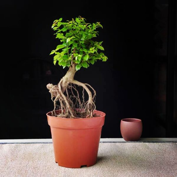 Hedge Sageretia Bonsai ( Sageretia theezans )