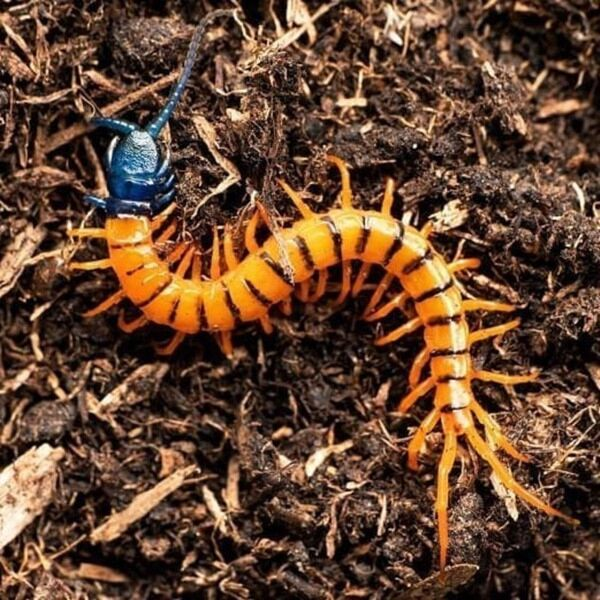 Malaysian Cherry Red Centipede (Scolopendra subspines dehaani)
