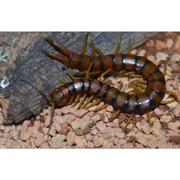 Scolopendra subspinipes cingulatoides centipede