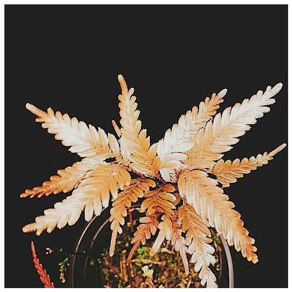 Selaginella sp. (Brown) newly found