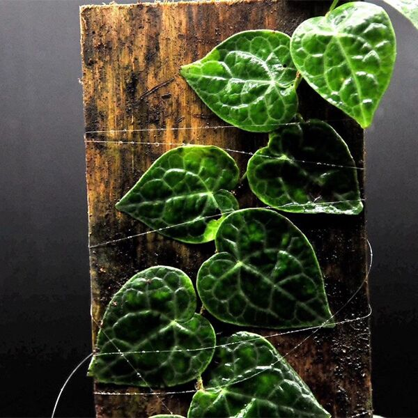 Shingle Plant ( Rhaphidophora cryptantha )  X 2 Plants