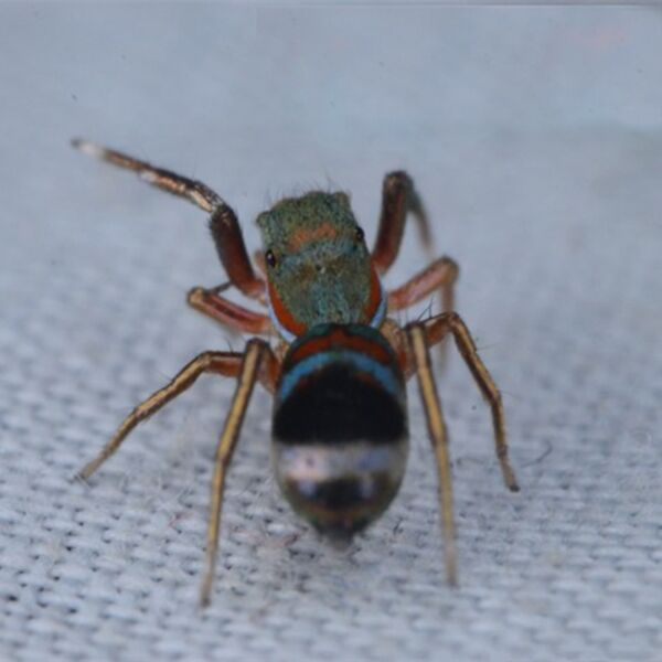 Chinese Jumping Spider (Siler cupreus)