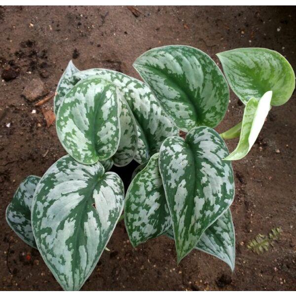 Silver Satin Pothos ( Scindapsus  pictus' exotica ' )