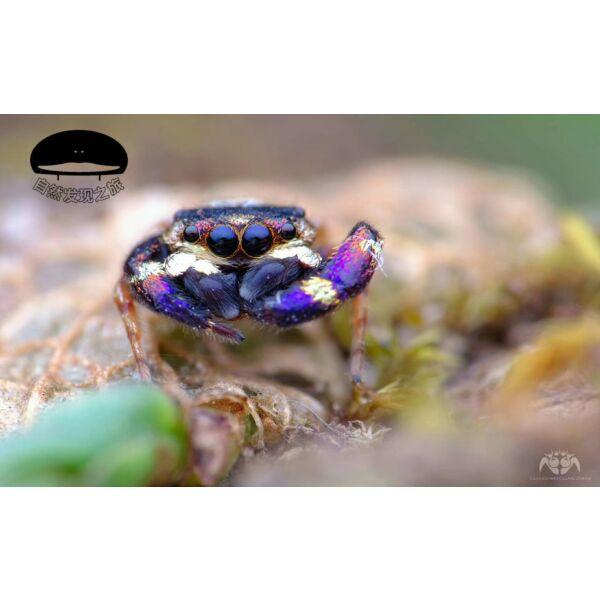 Jumping Spider (Simaetha sp. 'Hong Kong')