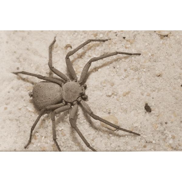 Six-eyed Cave Spider (Sicarius terrosus)