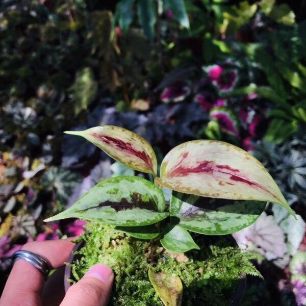 Smilax china sp.