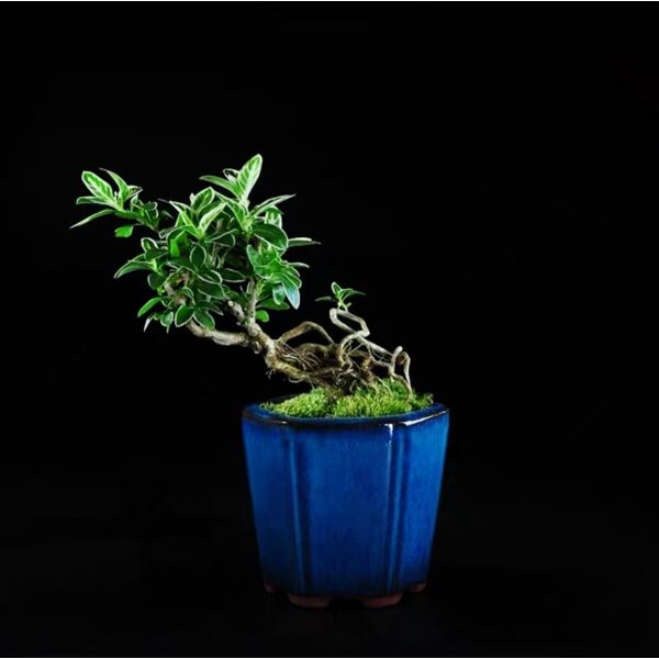 Snow Rose Serissa Bonsai ( Serissa japonica ' Variegata ' )