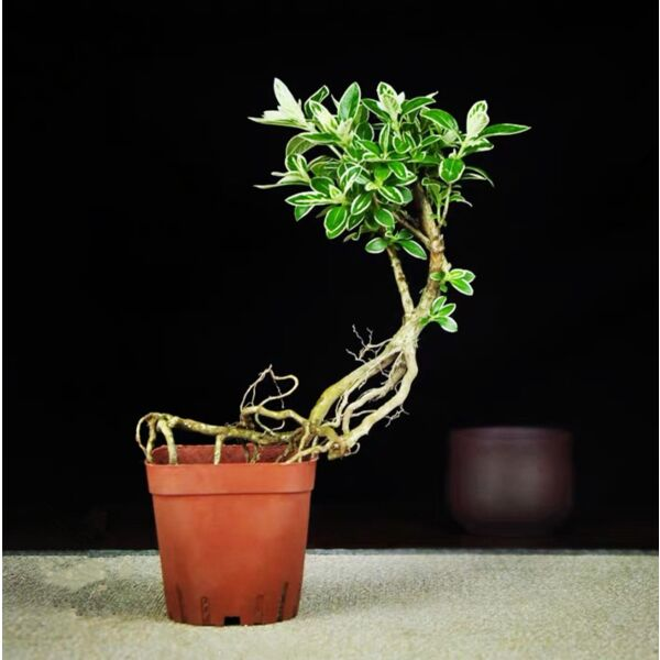 Snow Rose Serissa Bonsai (Serissa japonica 'Variegata')