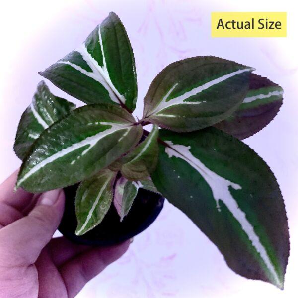 Sonerila 'White Veins'  (Sonerila sp.)