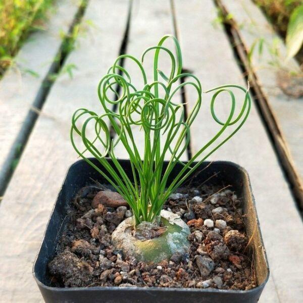 Spiral grass (Albuca namaquensis)