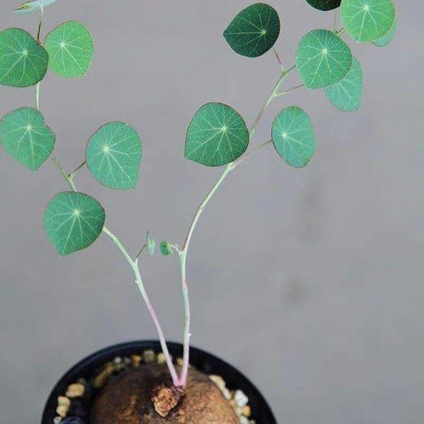 Stephania Erecta Tuber (Stephania sp.)