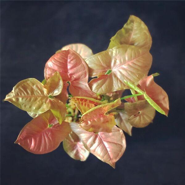 Syngonium podophyllum 'Neon Robusta'