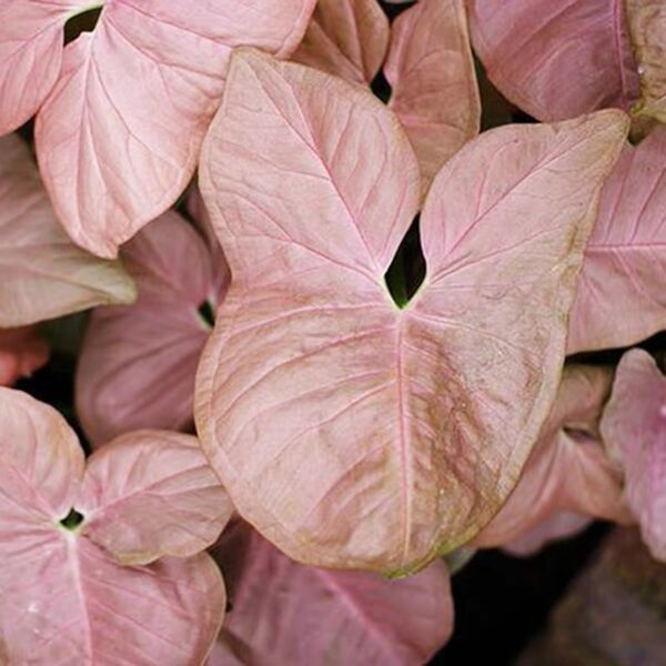 Syngonium podophyllum ' Neon Robusta '