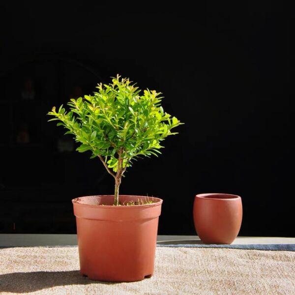 Syzygium Grijsii Bonsai ( Syzygium grijsii )