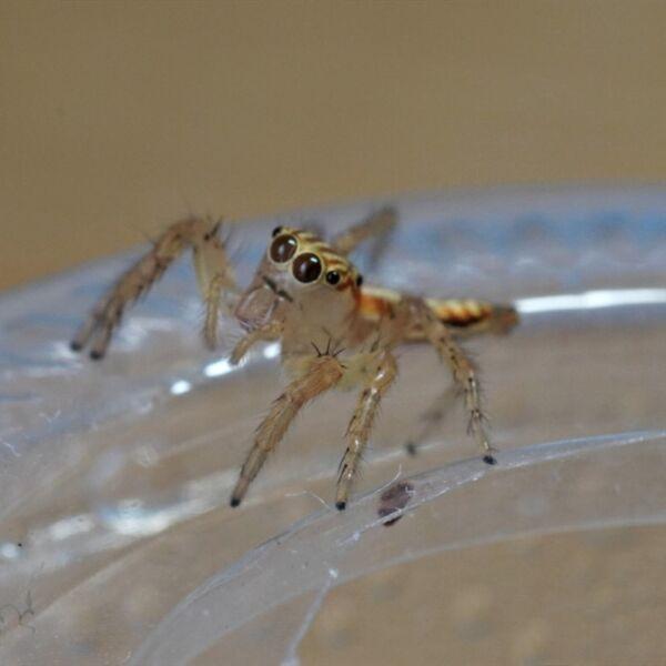 Oriental Jumping Spider (Telamonia caprina)