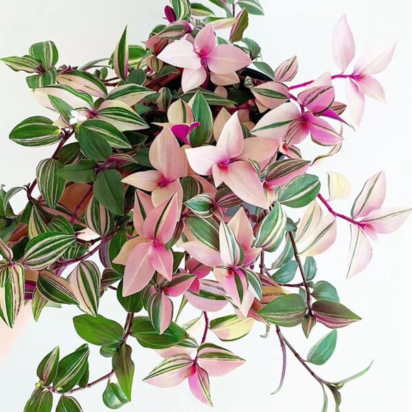 Tradescantia fluminensis 'Tricolor Minima'