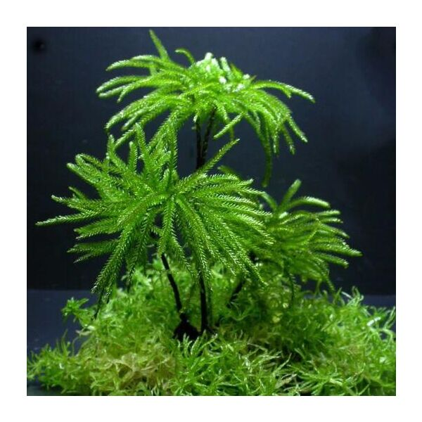 Tree Climacium Moss (Climacium dendroides)