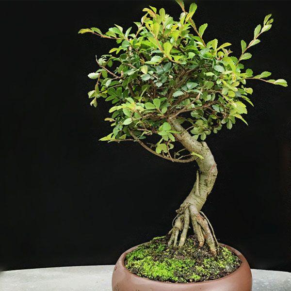 Ulmus Pumila Bonsai ( Ulmus pumila L. )