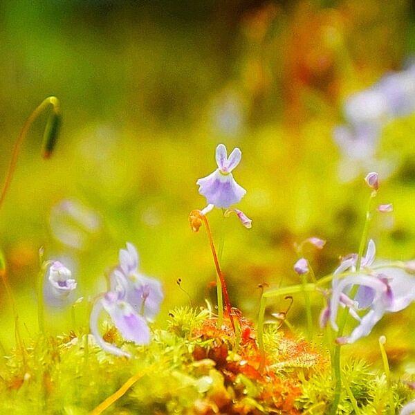 Sanderson's bladderwort ( Utricularia sandersonii ' Blue ' )
