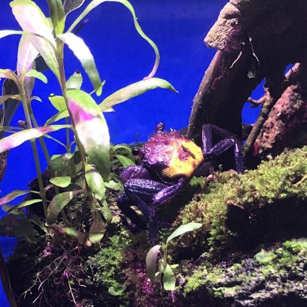 Dreifarbige Vampirkrabbe Crab (Geosesarma tricolor)