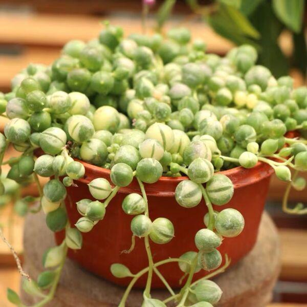 variegated string of pearls ( Senecio rowleyanus Var. )