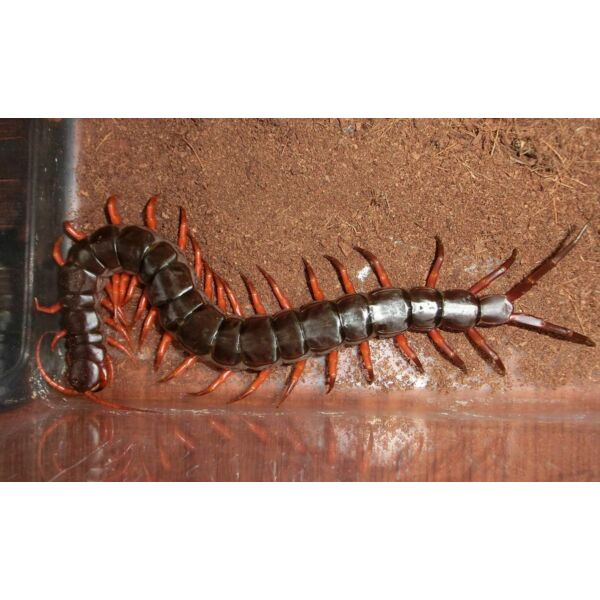 Vietnam Giant  Red Legs Centipede (Scolopendra dehaani)