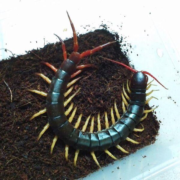 Vietnam Giant Yellow Legs Centipede (Scolopendra dehaani)