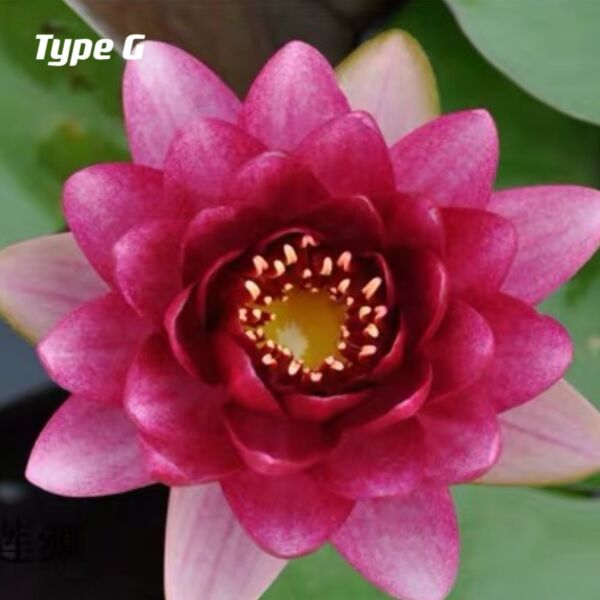 Waterlily ( Nymphaea tetragona )