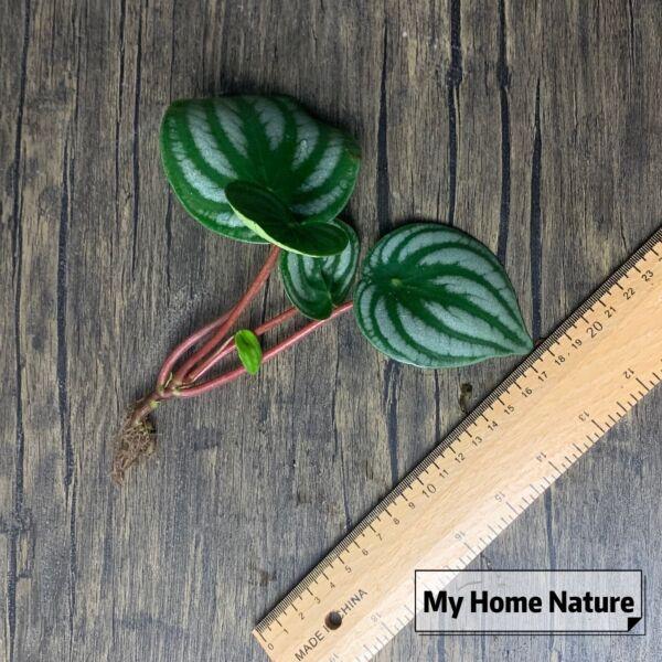 Watermelon Peperomia (Peperomia argyreia)