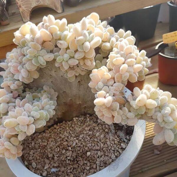 Crested Firecracker Plant (Echeveria pulvinata 'Frosty crested')