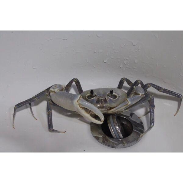 White Lightning Crab (Tiwaripotamon vietnamicum)