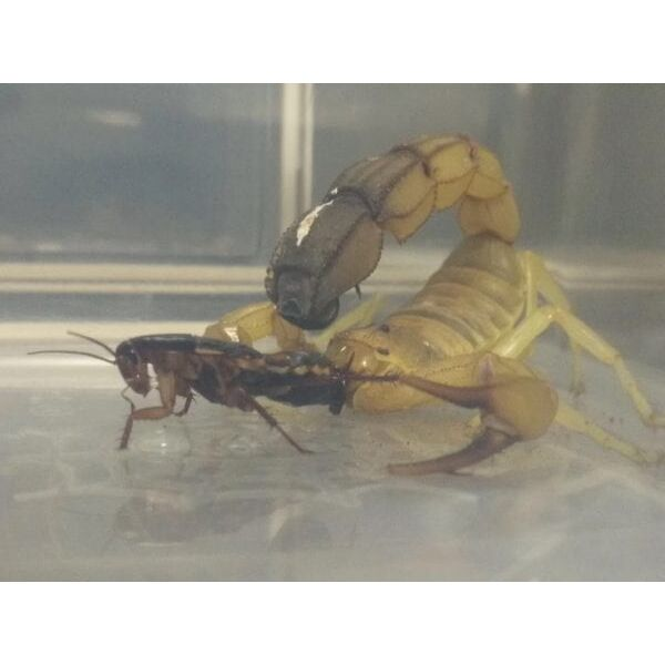 Yellow Fat-tailed Scorpion (Androctonus australis Tunesien)