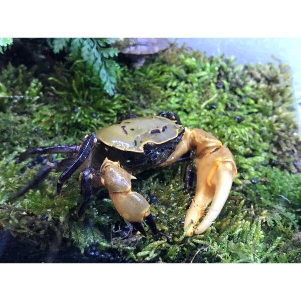 Yellow Green Samurai Crab (Somanniathelphusa sinensis)