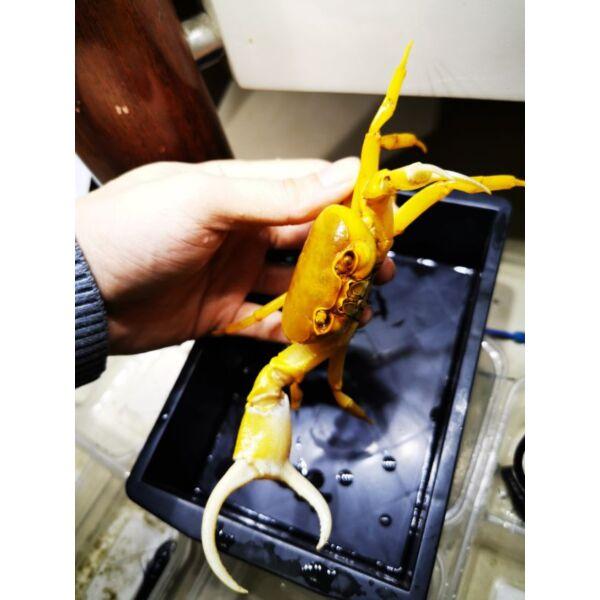 Yellow Pirate Crab (Vietorintalia rubrum)